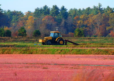 The Cranberry Harvesting Season