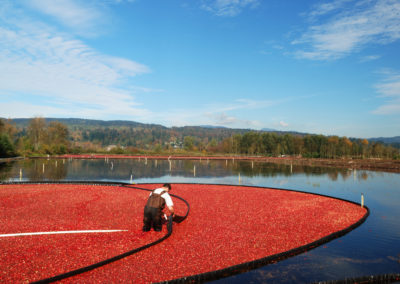 Farmer Harvesting Cranbarries In The Cranberry Bog