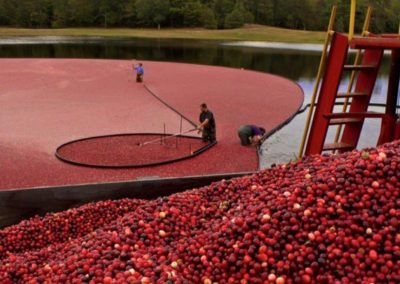 cranberries-up-close-and-a-bog