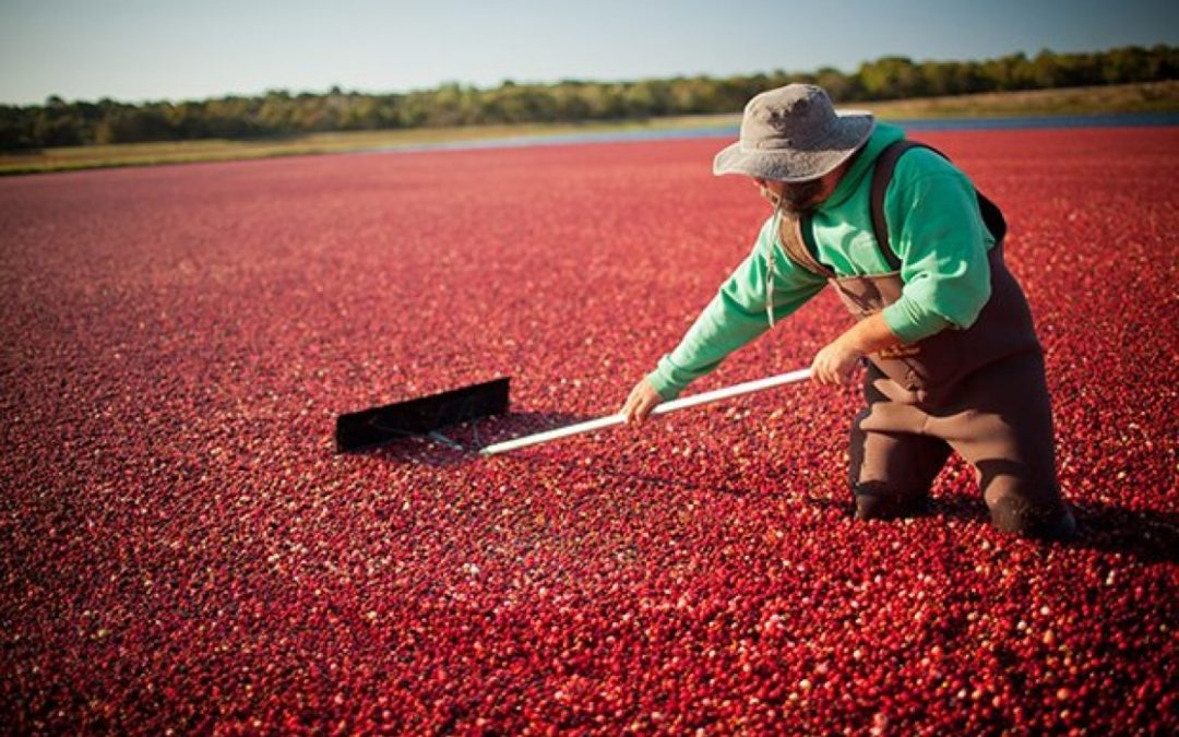Fit for purpose: Fruit d'Or Cran Naturelle is a game changer in cranberry research