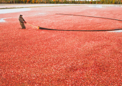 Workers pulling floating cable to gather cranberries