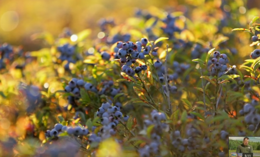 Wild Blueberry Heritage